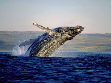 jumping-whale